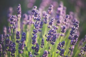 Book Now for 2019 Lavender Festival in Sequim