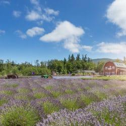 Sequim Lavender Farms