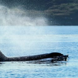 Whale Watching in Sequim