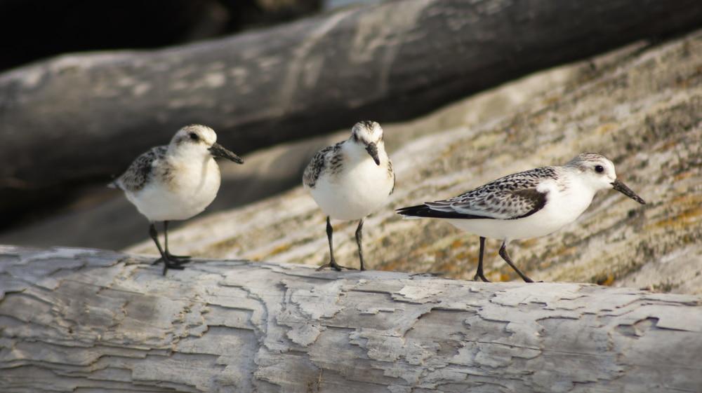 Dungeness Spit birdwatching
